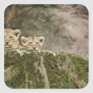 Lion Cubs Peeking Over Rock Square Stickers