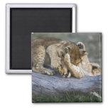 Lion cubs playing on log, Panthera leo, Masai Square Magnet