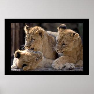 Lion Cubs  Poster