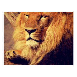 Lion enjoying the afternoon sun postcard
