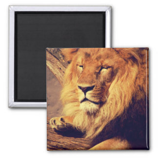 Lion enjoying the afternoon sun square magnet