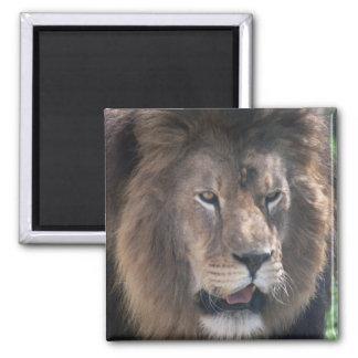Lion face square magnet