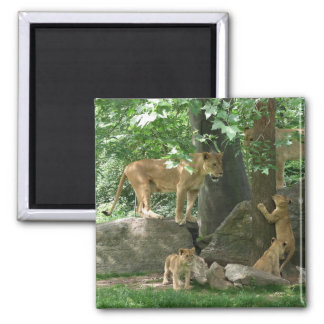 Lion Family at Play magnet Refrigerator Magnet