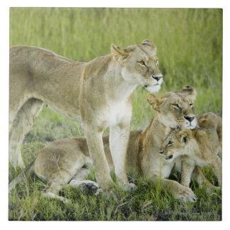 Lion family in Kenya, Africa Tile