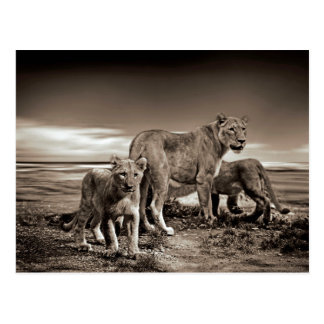 Lion Family Postcard