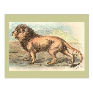 Lion Felis leo Postcards