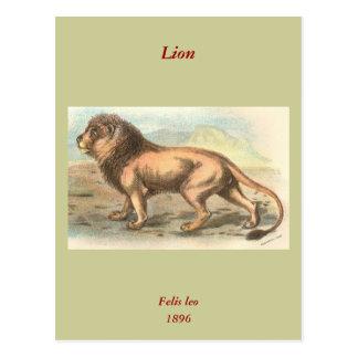Lion, Felis leo Postcards
