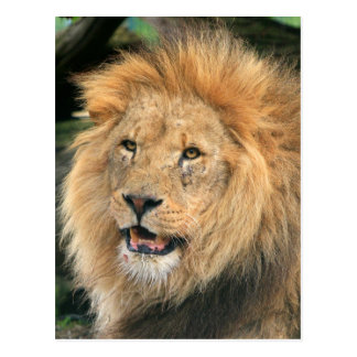 lion head male beautiful portrait photo postcard