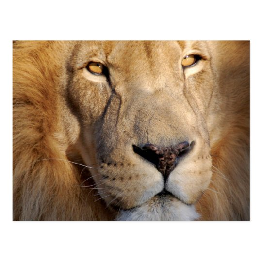Lion Images Postcard