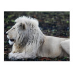 Lion in repose post card