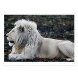 Lion in repose post cards