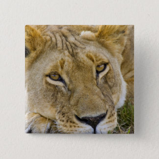 Lion in the brush, resting in the heat of the 15 cm square badge