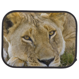 Lion in the brush, resting in the heat of the car mat