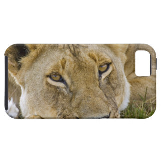 Lion in the brush, resting in the heat of the case for the iPhone 5