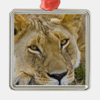 Lion in the brush, resting in the heat of the christmas ornament