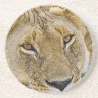 Lion in the brush, resting in the heat of the coaster