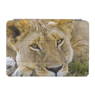 Lion in the brush, resting in the heat of the iPad mini cover