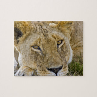 Lion in the brush, resting in the heat of the jigsaw puzzle