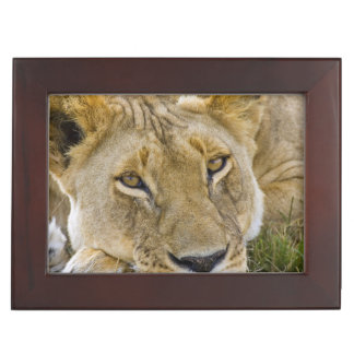 Lion in the brush, resting in the heat of the keepsake box