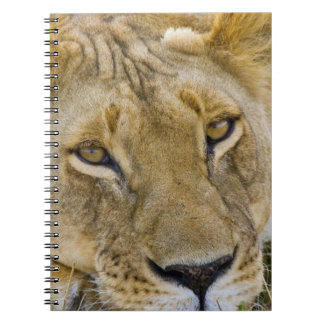 Lion in the brush, resting in the heat of the notebooks