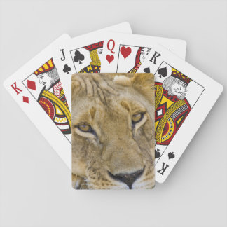 Lion in the brush, resting in the heat of the playing cards