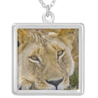 Lion in the brush, resting in the heat of the silver plated necklace