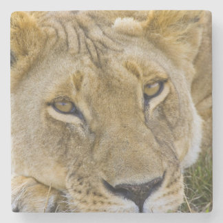Lion in the brush, resting in the heat of the stone coaster