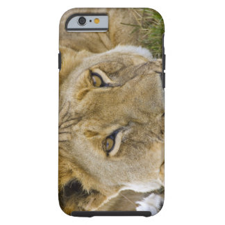 Lion in the brush, resting in the heat of the tough iPhone 6 case