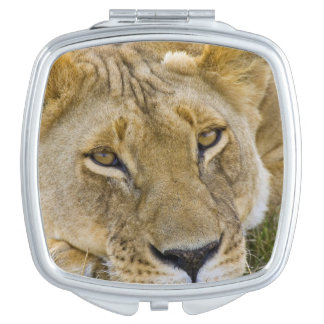 Lion in the brush, resting in the heat of the travel mirror