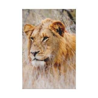 Lion in the Grass Canvas Prints