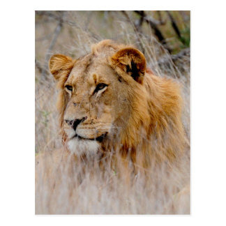 Lion in the Grass Postcard