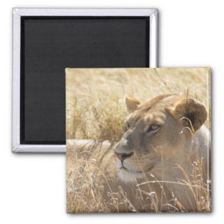 Lion in the laying in the high Serengeti grass Square Magnet