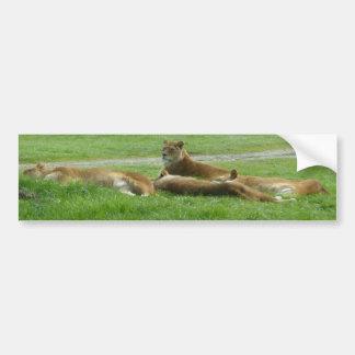 Lion keeping watch bumper sticker