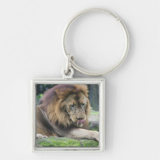 Lion Licking His Chops! Key Chain