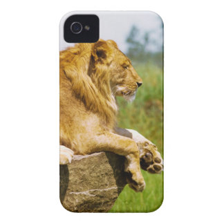 Lion lying on a rock iPhone 4 Case-Mate cases