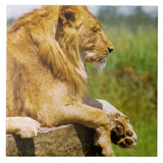 Lion lying on a rock tile