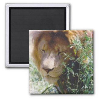 Lion Square Magnet