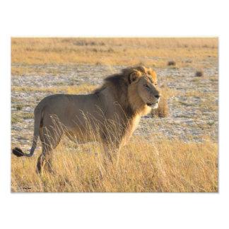 LION MALE 13 PHOTO ENLARGEMENT