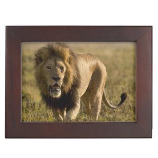 Lion male hunting keepsake box