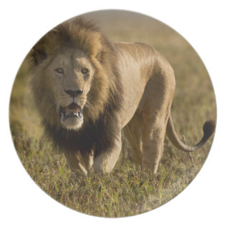 Lion male hunting plates