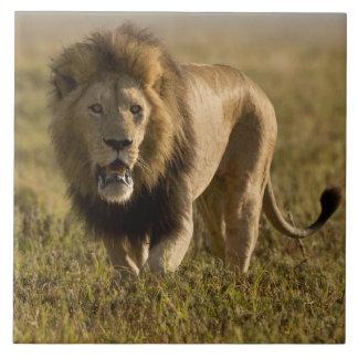Lion male hunting tile