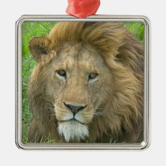 Lion Male Portrait, East Africa, Tanzania, Christmas Ornament