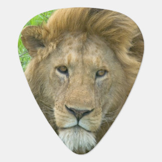 Lion Male Portrait, East Africa, Tanzania, Guitar Pick