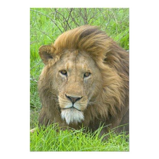 Lion Male Portrait, East Africa, Tanzania, Art Photo