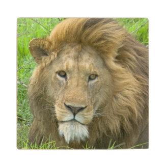 Lion Male Portrait, East Africa, Tanzania, Wood Coaster
