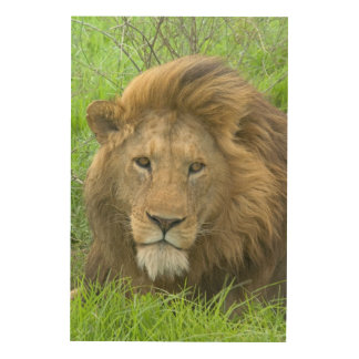 Lion Male Portrait, East Africa, Tanzania, Wood Wall Decor