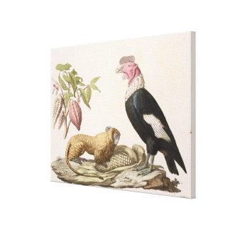 Lion monkey and condor, native to Chile or Ecuador Stretched Canvas Print