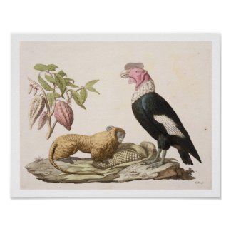 Lion monkey and condor, native to Chile or Ecuador Poster