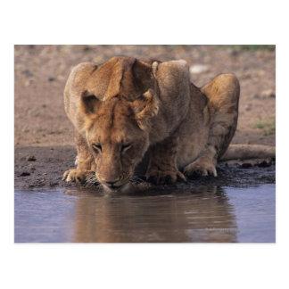 Lion (Panthera leo) at waterhole, Masai Mara Postcard