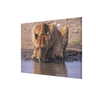 Lion (Panthera leo) at waterhole, Masai Mara Stretched Canvas Prints